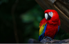 Scarlet Macaw Wallpapers Image