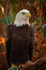 American Bald Eagle Image