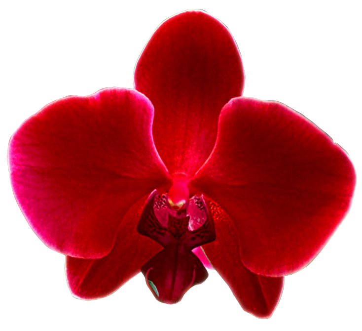 Orquidea | Free Images at Clker.com - vector clip art online, royalty ...