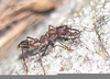 Brown Bulldog Ant Image