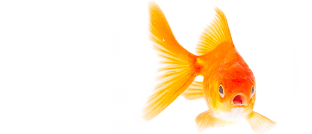 Goldfish | Free Images at Clker.com - vector clip art online, royalty ...
