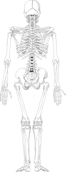 human skeleton blank clip art at clker com