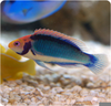 Clown Head Wrasse Image