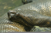Pictures Green Anacondas Image