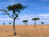 World Africa Scattered Acacia Trees Kenya Africa Image