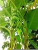 Banana Tree Wallpaper Image