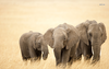 African Elephants X Animal Wallpaper Image