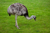 Ostrich Frp Image