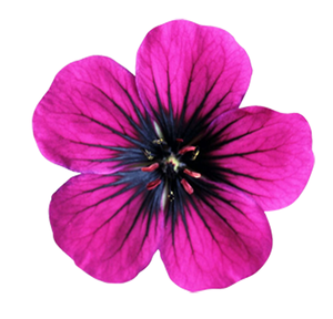 Pink Flower To Vector Image