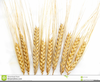 Free Wheat Stalk Clipart Image