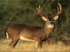 Mule Deer Image