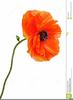 Red Poppy Clipart Image