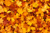 Maple Leaves Background Image