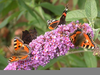 Peacock Butterfly Bush Image
