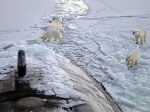 Three Polar Bears Approach The Starboard Bow Of The Los Angeles-class Fast Attack Submarine Uss Honolulu (ssn 718) While Surfaced 280 Miles From The North Pole. Image