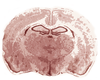 Rat Brain Image