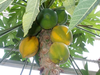 Papaya Tree Images Image