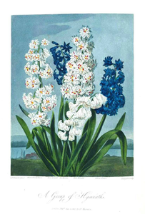 Botanical Flower Hyacinth A Group Of Hyacinths Image