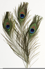 Peacock Cliparts Image