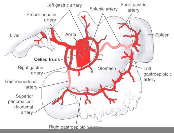 Celiac Artery Diagram Free Images At Clker Vector Clip Art