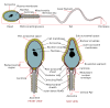 Complete Diagram Of A Human Spermatozoa Clip Art