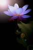 Best Blue Lotus Image