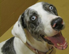 Catahoula Dog Face Image