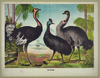 The Ostrich Image
