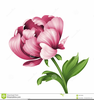 Peony Clipart Free Image