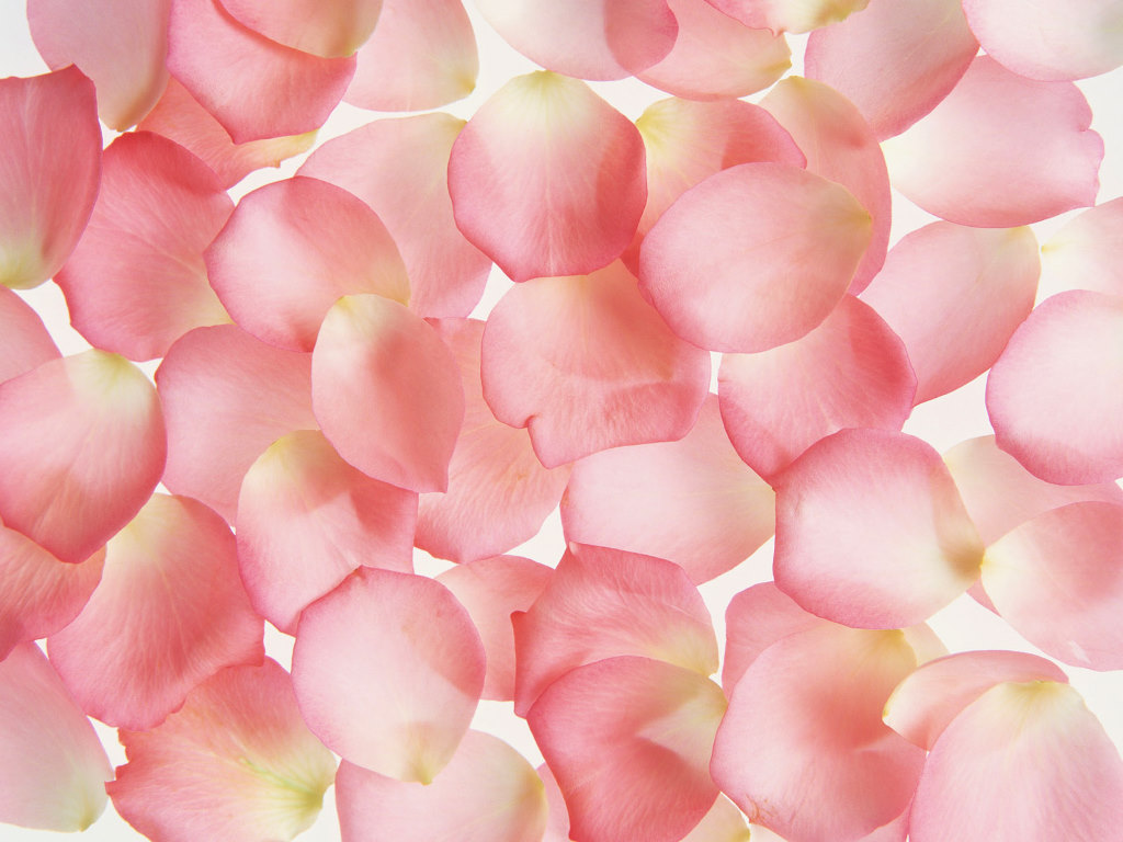 Pink Rose Petal Picture X