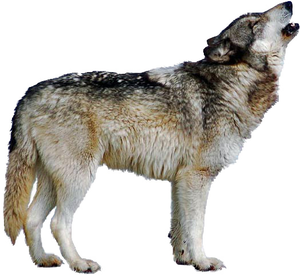 Wolf Howling Image