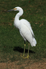Snowy Egret On Grass Ncrf Image
