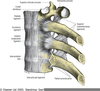 Radiate Costovertebral Ligament Image
