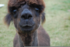 Llamas With Afros Image