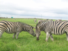 Zebra Head To Head Image