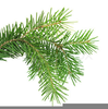 Evergreen Bough Clipart Image