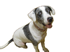 Catahoula Cur Dog Photo Image