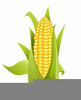 Free Indian Corn Clipart Image