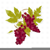 Grape Bunches Clipart Image