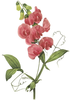 Sweet Pea Flower Clipart Image