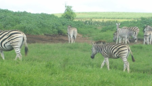 Herd Of Zebra Image