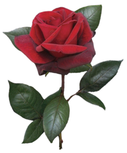 Real Flower Clip Art Roses