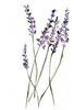 Lavender Flowers Drawing Image