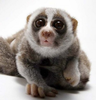 Cute Slow Loris Image