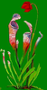 Pitcher Plant Image