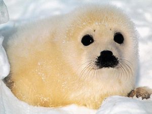 Baby Seal Image