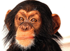Reference Chimp Baby Head Large Image
