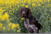 Clipart Images Of Pointer Dogs Image
