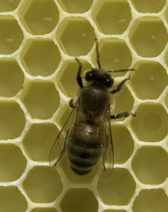 Single Bee Image