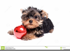 Christmas Yorkshire Terrier Clipart Image